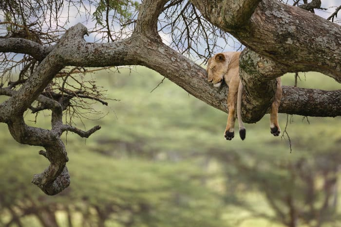 Lioness sleeping in a tree in Tanzania's Serengeti National Park