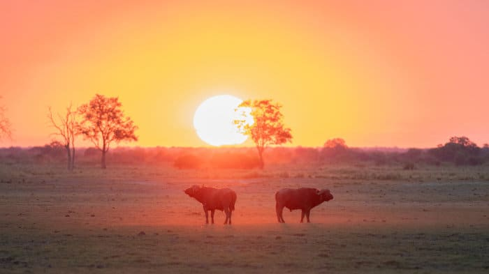 Buffalo looking in opposite directions, as the sun goes down on the African savannah