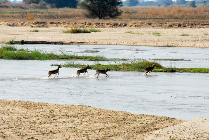 Puku crossing the Mwaleshi river in North Luangwa