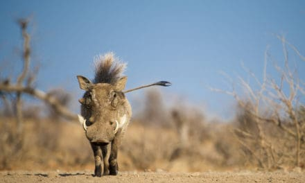 Pumbaa – The real story behind the African warthog