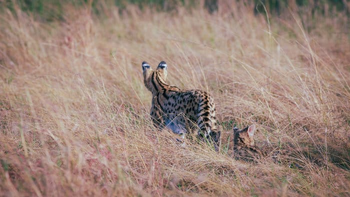 Serval cat with baby in tall grass