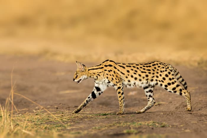 Serval cat in hunting mode