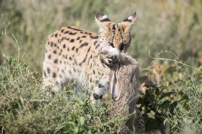 Serval with hare in its mouth