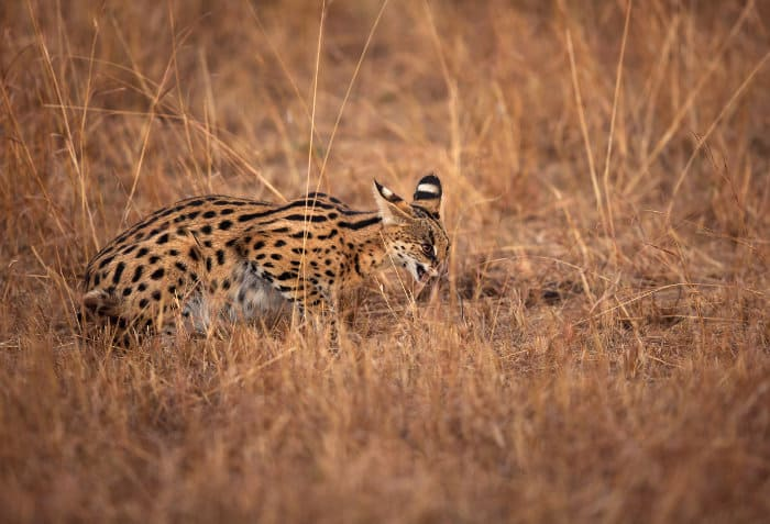 Serval swallowing a small rodent, probably a rat