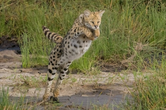 Serval cat leaping over a small stream