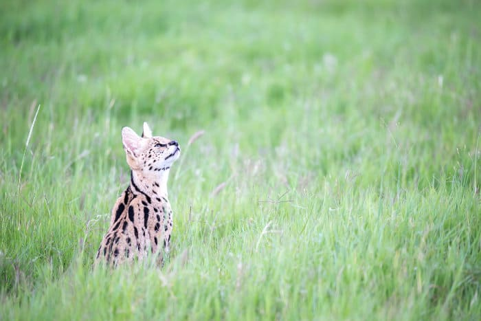 Serval cat looking up in tall blades of green grass