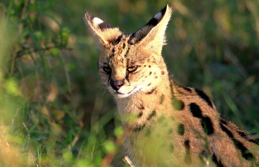 Serval Cat: The complete story of Africa's wildest cat