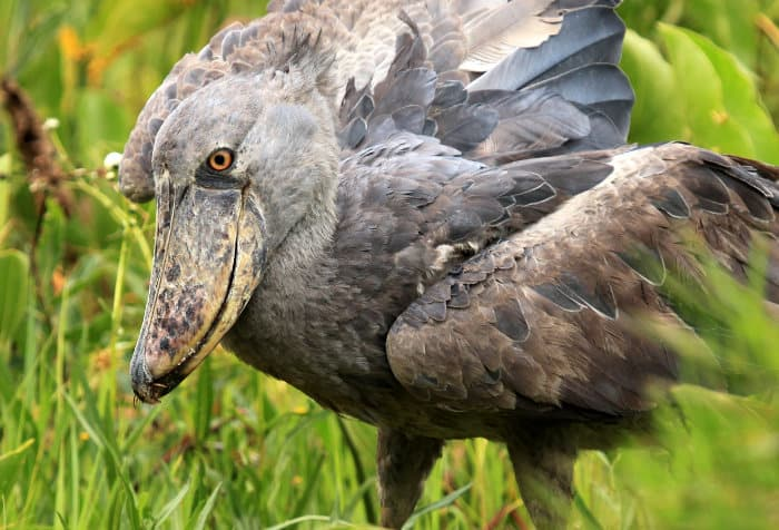 Shoebill at Lake Opeta in Uganda