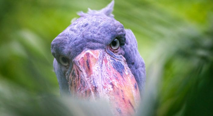 Most mature shoebill specimens reach 1.3 metres in height