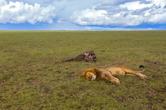 Sleeping male lion with dead wildebeest