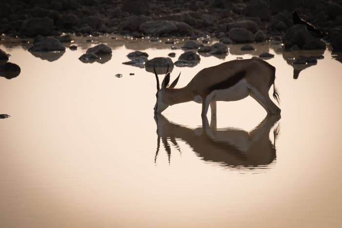 Springbok with reflection, drinking at a waterhole in Etosha