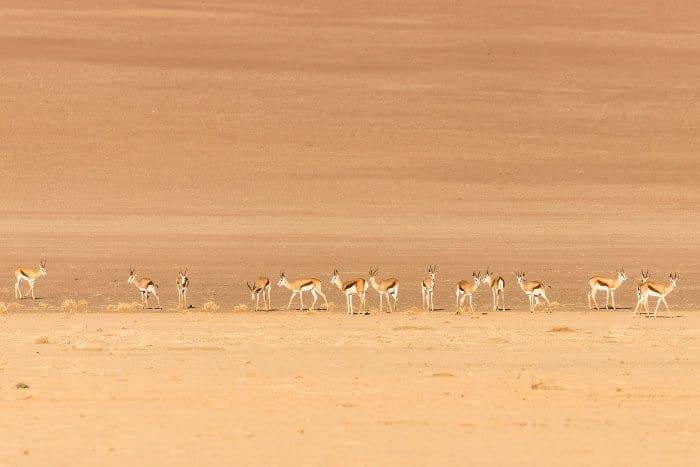 Herd of springbok in the Namibian desert