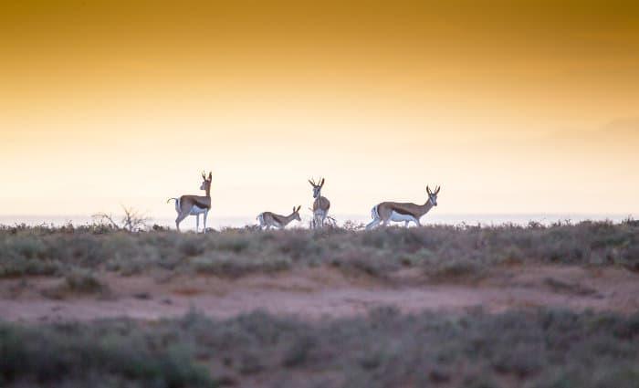 Herd of springbok at sunset in Mountain Zebra National Park