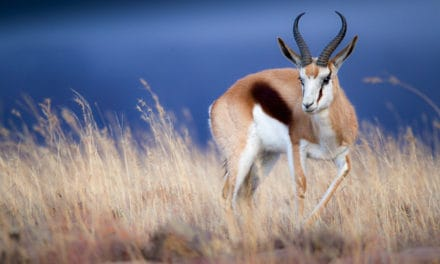 Springbok – The complete guide to an African wonder
