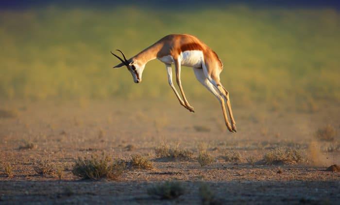 Joyous springbok showing off its pronking skills