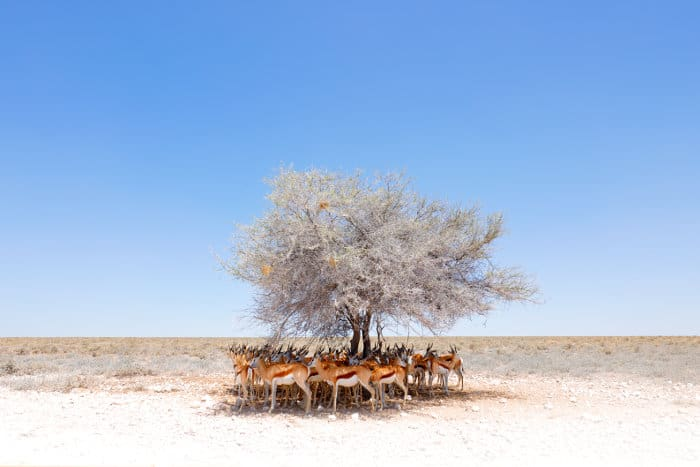 Springbok resting under a tree to avoid midday heat