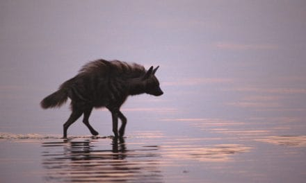 21 incredible facts about striped hyena – The misunderstood legend