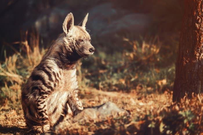 Striped hyena in a zoo, Czech Republic