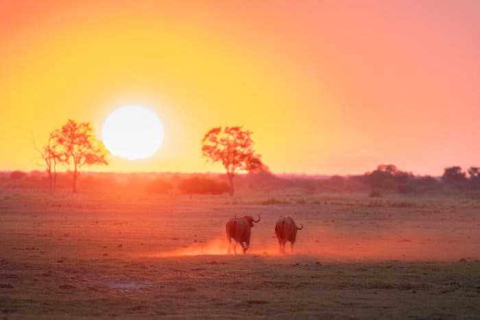 """Two buffalo running """"into"""" the sunset"""