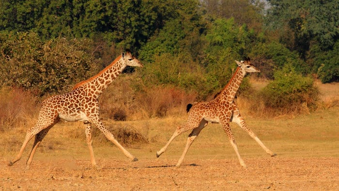 Two young giraffe running in the African wilderness