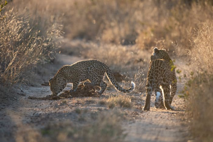 Two young leopards having fun in Sabi Sand