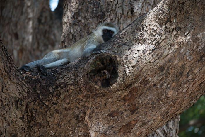 Vervet monkey relaxing in a tree in Katavi National Park