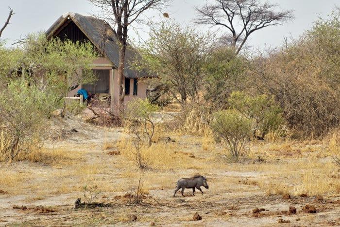 Warthog near a lodge in Botswana