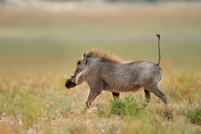 Running warthog with tail upright