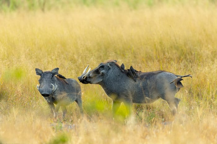Two warthogs in Moremi, Botswana