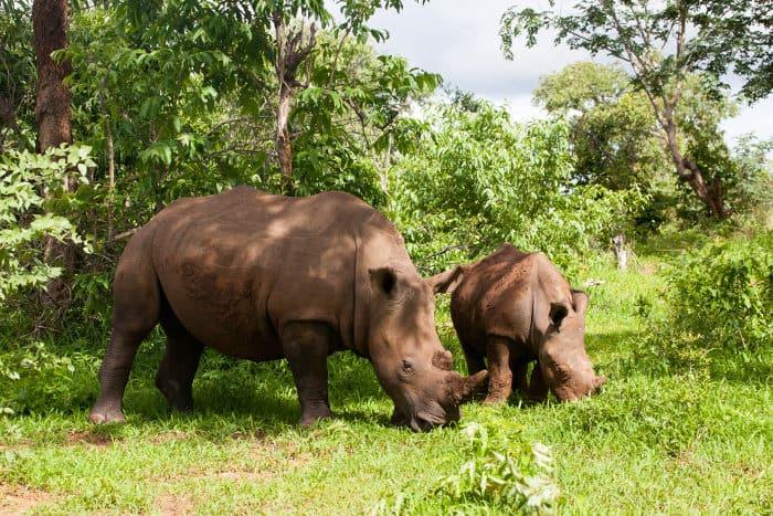 White rhinoceros with baby in Mosi-oa Tunya National Park