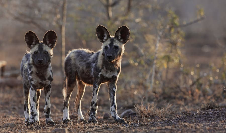 Where to view Africa's endangered wildlife: making your safari count