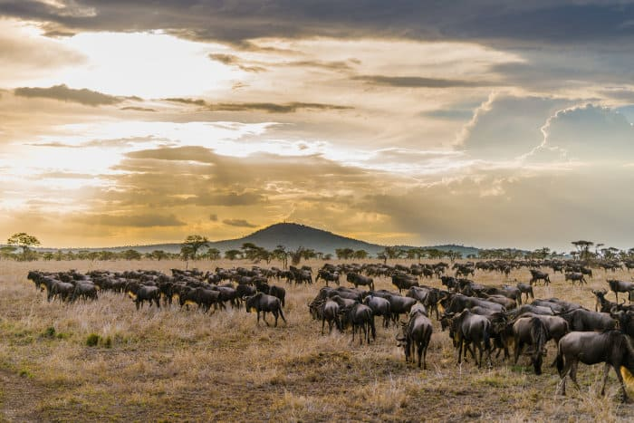 Herd of wildebeest in the Serengeti