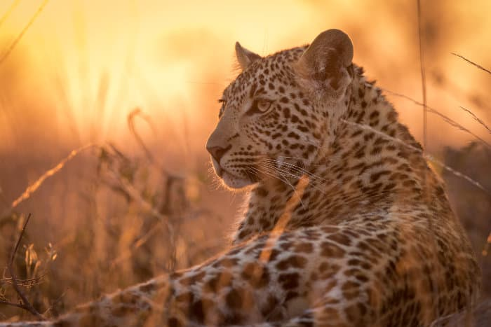 Young leopard resting on a termite mound, with magnificent sunset colours