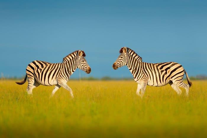Zebra facing each other in Nxai Pan