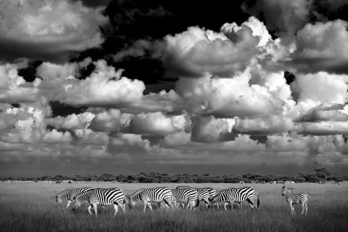 Burchell's zebra in Nxai Pan National Park