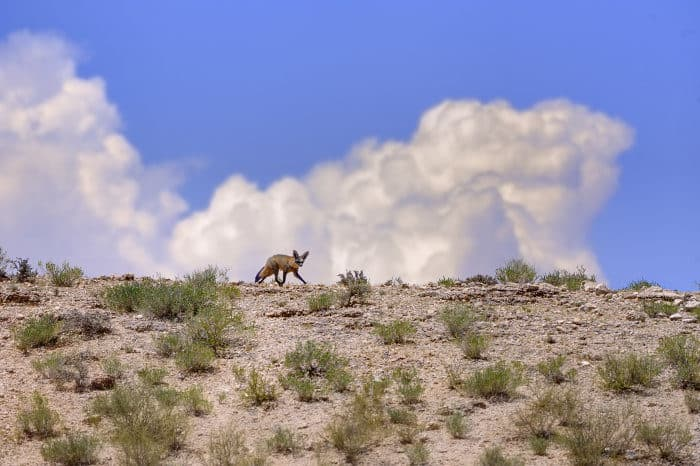 Bat-eared fox running along the skyline in the Kalahari desert