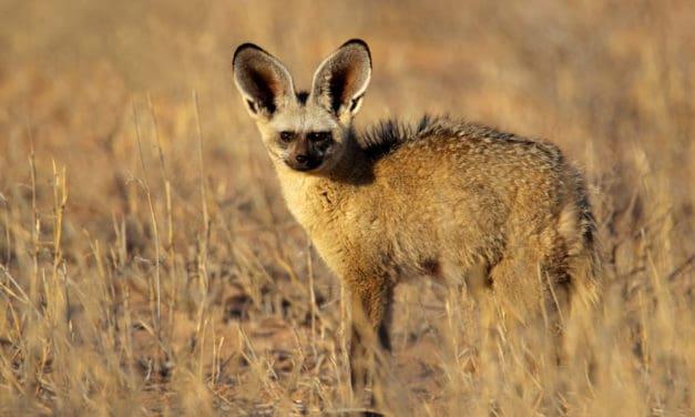 Bat-eared fox – 19 remarkable facts about an astonishing little predator