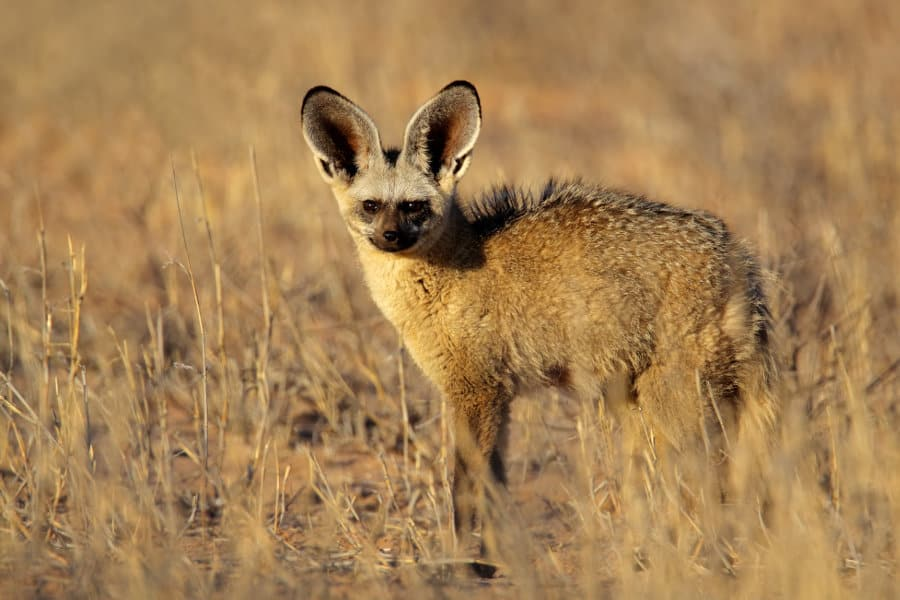 Bat-eared fox – 19 remarkable facts about an astonishing little predator