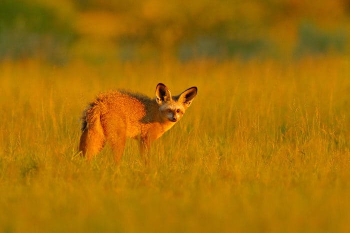 Bat-eared fox on an early evening exploration