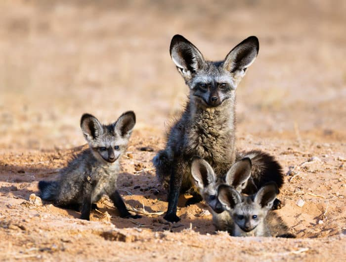 Bat-eared fox family portrait in the Kgalagadi Transfrontier Park