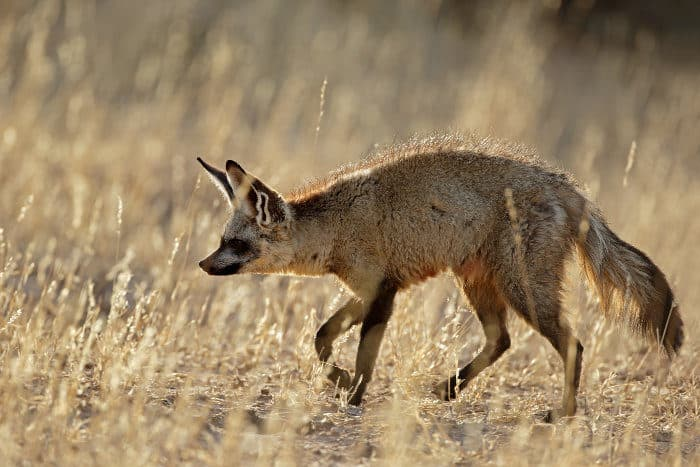 A bat-eared fox in its natural habitat in the Kalahari desert