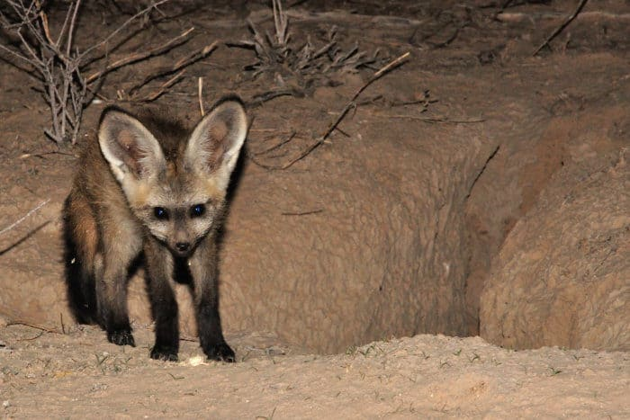 Bat-eared fox pup at the den