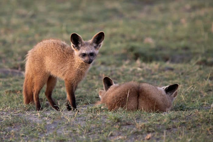 Bat-eared foxes resting in Ngorongoro Crater, Tanzania