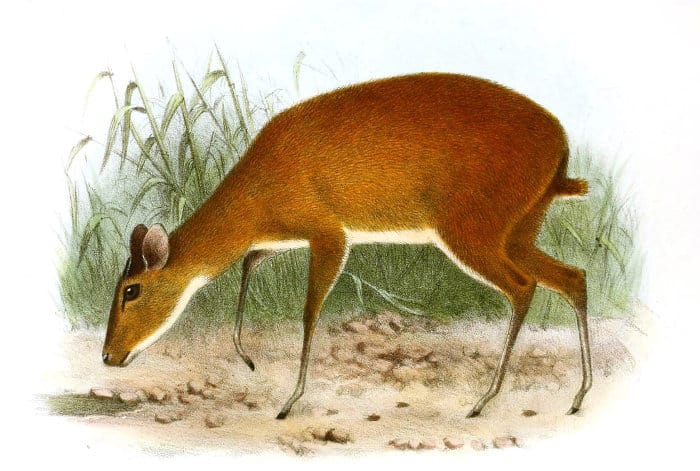 Bates's pygmy antelope, illustrated by Herbert Goodchild