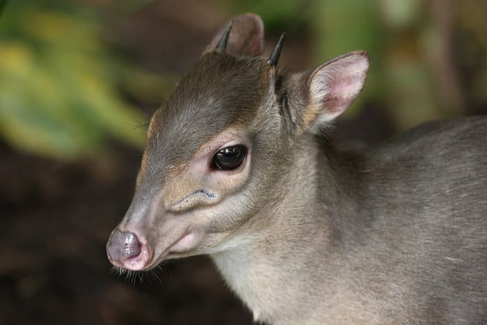 Tiny blue duiker in a forested area in South Africa