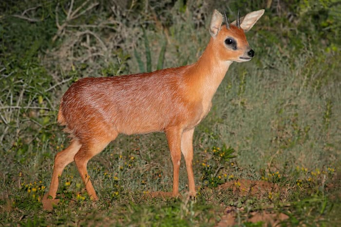 Rare Cape grysbok antelope photographed in South Africa