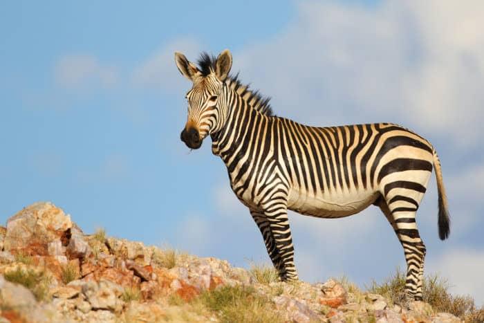 Cape mountain zebra in rocky area