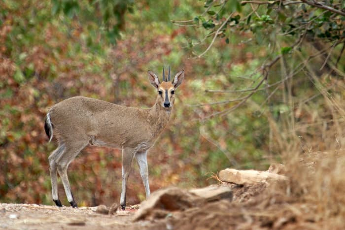 Common duiker standing next to the road