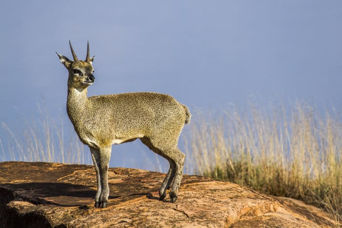 Klipspringer standing on a rock, Kruger