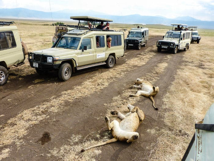 Sleepy lions surrounded by safari vehicles in Ngorongoro crater